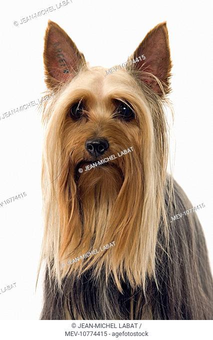 Dog - Australian Silky Terrier / Silky Terrier / Sydney Silky