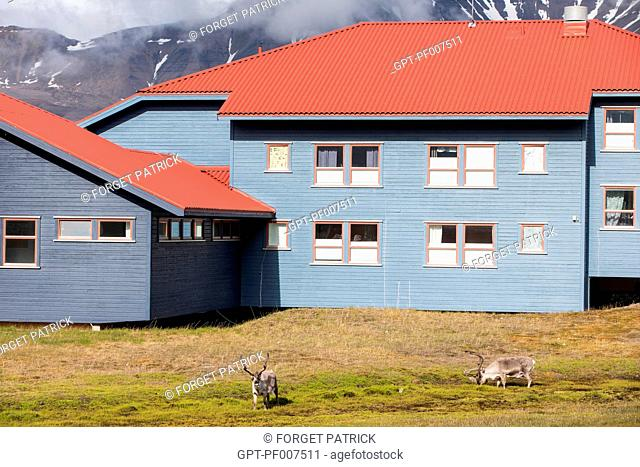 DEER ROAMING FREE IN FRONT OF THE COLORFUL WOODEN HOUSES, CITY OF LONGYEARBYEN, THE NORTHERNMOST CITY ON EARTH, SPITZBERG, SVALBARD, ARCTIC OCEAN, NORWAY