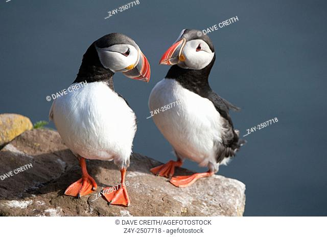 Pair of Atlantic puffins (Fratercula arctica) on the western most cliffs in Iceland, Látrabjarg, Westfjords, Iceland