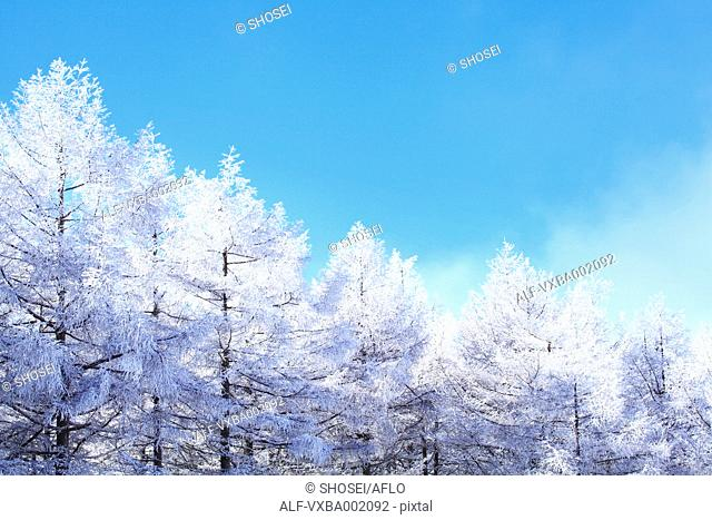 Rimed larch forest and sky, Nagano Prefecture