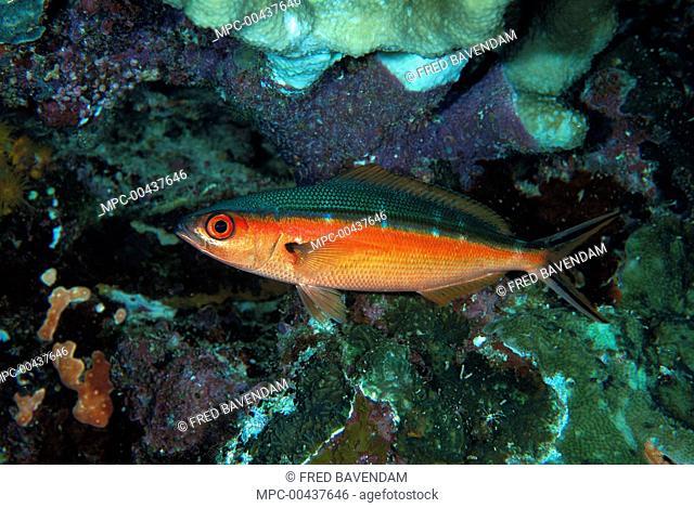Bluestreak Fusilier (Pterocaesio tile) showing nocturnal coloration, Manado, Indonesia