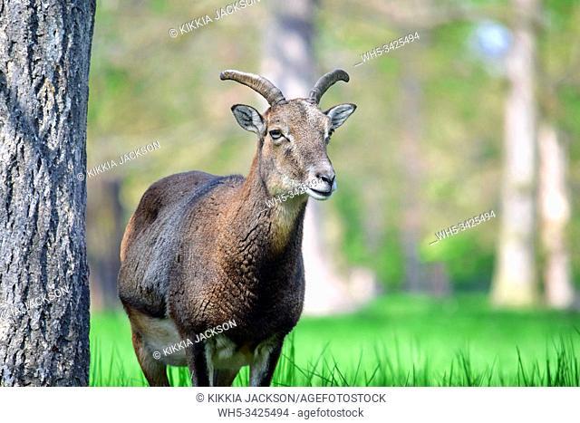Mouflon Ovis Aries Musimon Closeup Portrait, Czech Republic