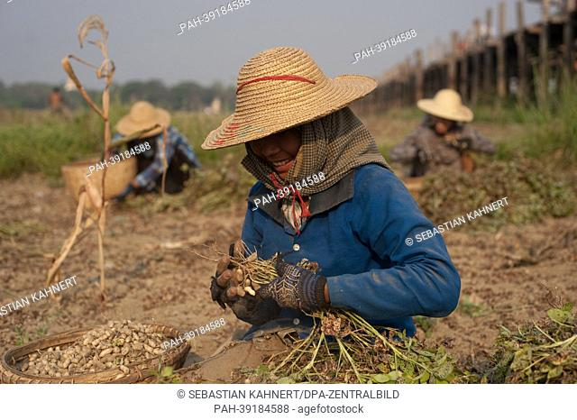 Myanmar Women are harvesting peanuts in front of the U Bein Bridge in Amarapura, Myanmar, on 02.04.2013. Photo: Sebastian Kahnert | usage worldwide