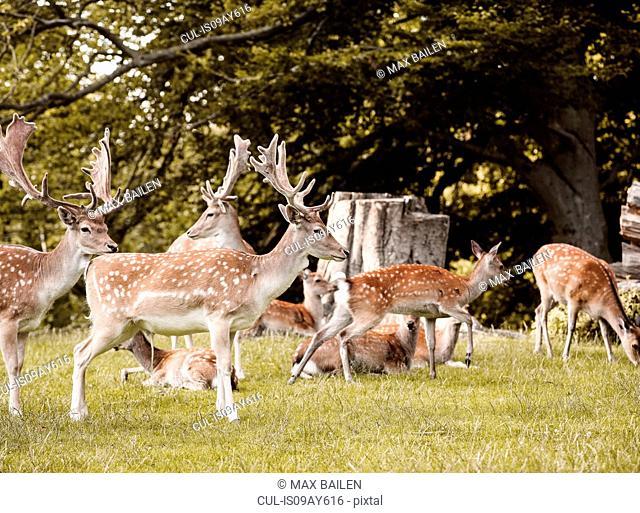 Group of deer, Aarhus, Denmark