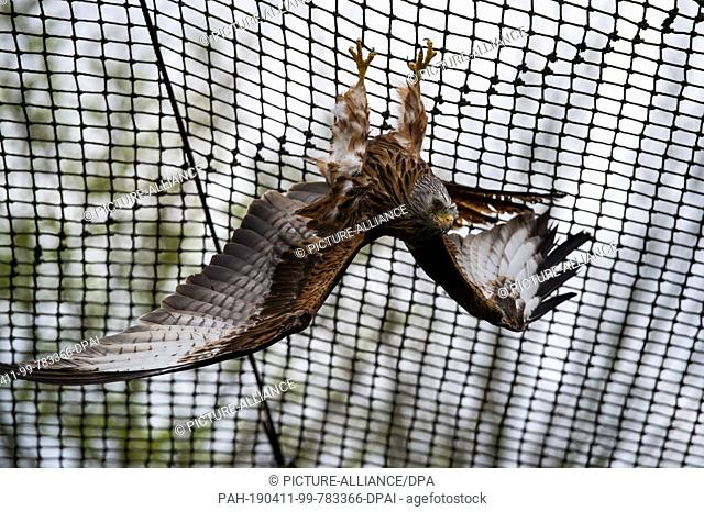 11 April 2019, Lower Saxony, Leiferde: In the Nabu Species Conservation Centre, a red kite hangs from the net in its enclosure