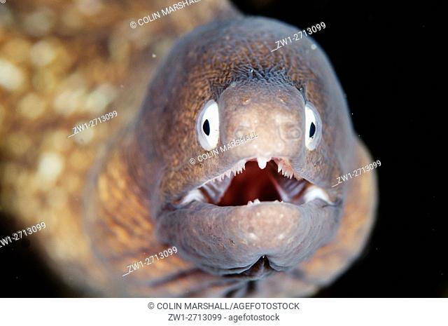 White-eyed Moray Eel (Siderea thysoidea), Sedam dive site, Seraya, Bali, Indonesia