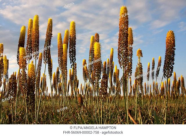 Foxtail Lily (Eremurus x isabellinus) 'Cleopatra', flowering, commercial nursery crop growing in field, Holbeach St. Johns, Moulton Fens, South Holland