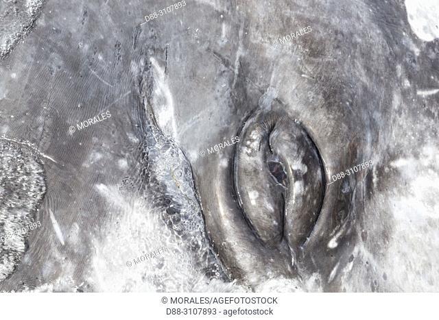 Central America, Mexico, Baja California Sur, Guerrero Negro, Ojo de Liebre Lagoon (formerly known as Scammon's Lagoon), Gray Whale (Eschrichtius robustus)