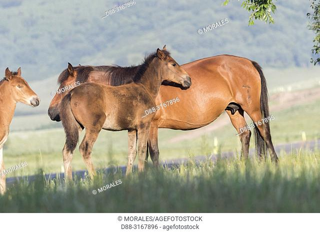 China, Inner Mongolia, Hebei Province, Zhangjiakou, Bashang Grassland, horses in the meadow, Mother and young