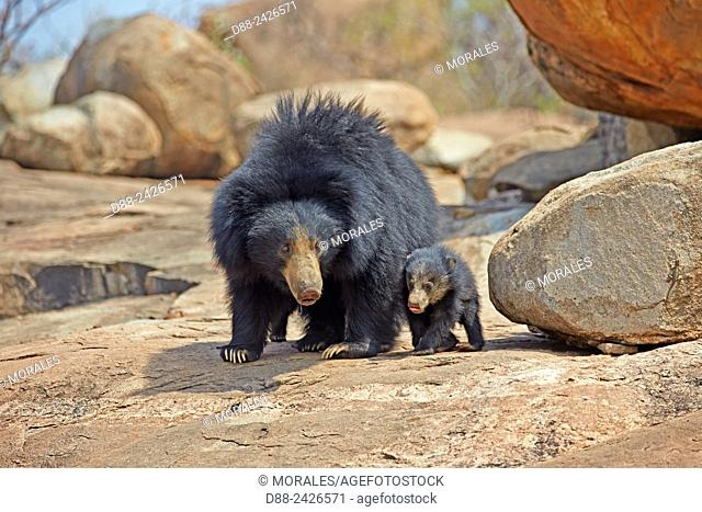 Asia, India, Karnataka, Sandur Mountain Range, Sloth bear Melursus ursinus, mother with baby, mother carrying babies on the back