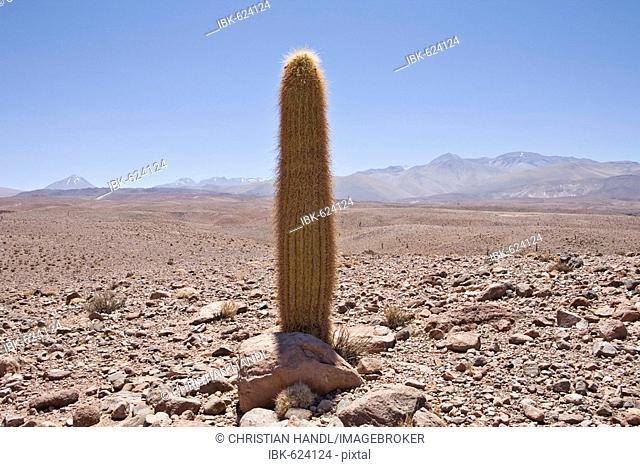 Giant Cardon Cactus (Echinopsis atacamensis), Valley of the Cacti, Región de Antofagasta, Chile