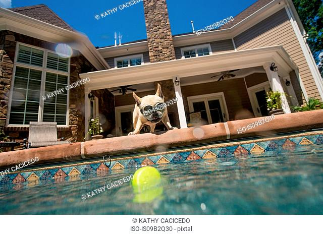 Dog wearing goggles looking into pool, house in background, Berkeley Heights, New Jersey, USA