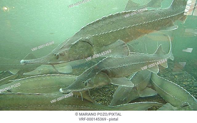 Waxdick, Russian sturgeons in aquarium, Acipenser güldenstaedti