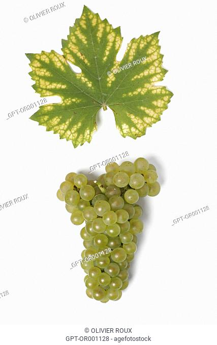 BUNCH OF CHARDONNAY GRAPES FOR CHAMPAGNE, (51) MARNE, CHAMPAGNE-ARDENNE, FRANCE