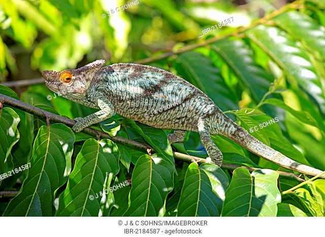 Parson's Chameleon (Calumma parsonii), male, foraging, Madagascar, Africa