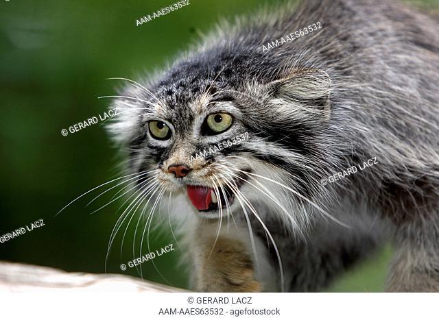 Manul or Pallas's Cat, otocolobus manul, Portrait of Adult