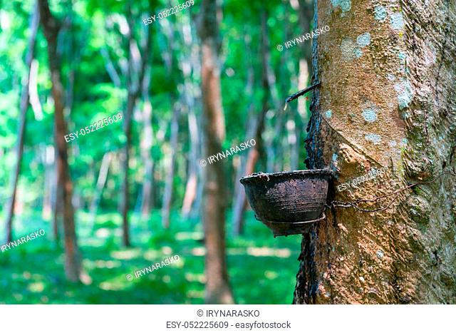 Natural rubber collecting from gashed rubber tree to harvesting bowl with green forest on background