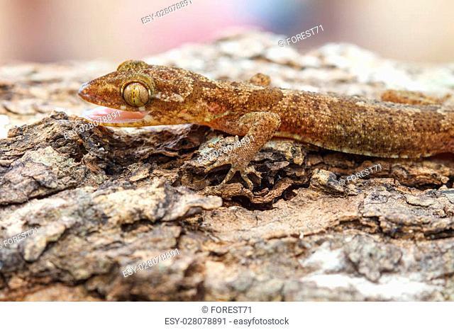 Ulber's Gecko in tropical forest, (Cyrtodactylus interdigitalis)