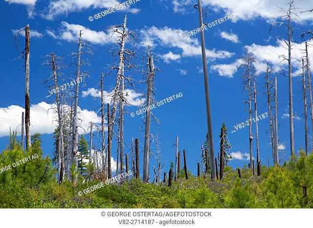 Forest fire snags, Cascade Lakes National Scenic Byway, Deschutes National Forest, Oregon