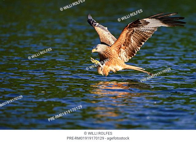 Red Kite hunting, Milvus milvus, Germany, Europe