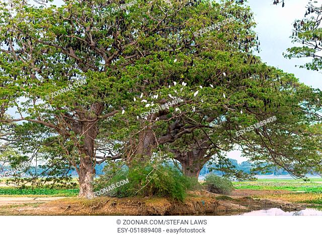 Old Saman trees in Tissamaharama on Sri Lanka. The trees were planted by the British. The lake, Tissa Wewa, is from the 3rd century before christ