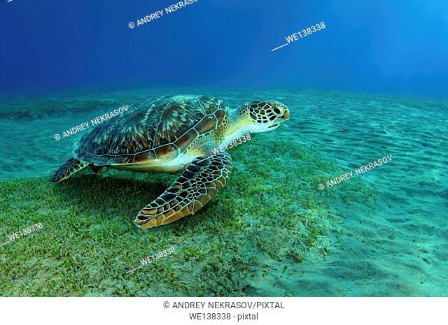 green sea turtle(Chelonia mydas), Red sea, Marsa Alam, Abu Dabab, Egypt