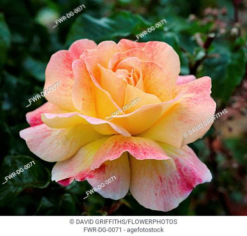Rose, Rosa, Single peach coloured flower growing outdoor