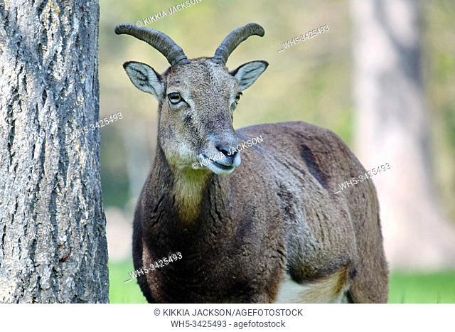 Mouflon Ovis Aries Musimon Portrait, Czech Republic