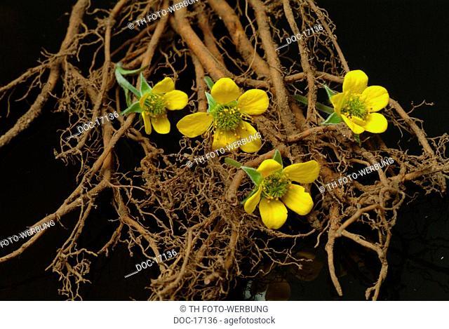 Tormentilla - medicinal plant - herb - Potentilla erecta - Cinquefoglia tormentilla -