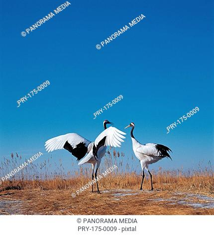 Two red -crowned cranes standing on ground