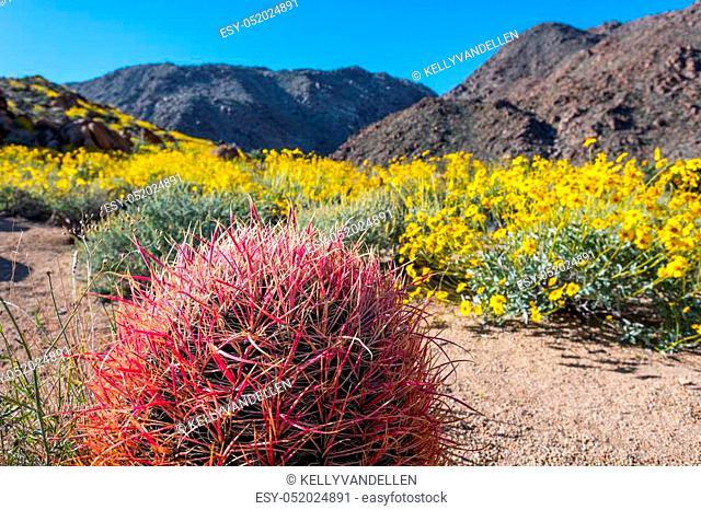 California Barrel Cactus Welcomes Spring and Bristlebush Blooms during super bloom