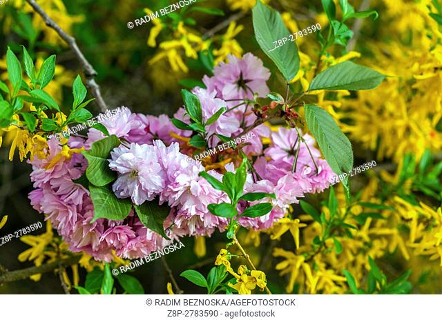 Pink flowering cherry tree twig and background of yellow forsythia blooming, budding leaves