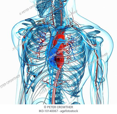 Human male anatomical model of chest, heart and arteries