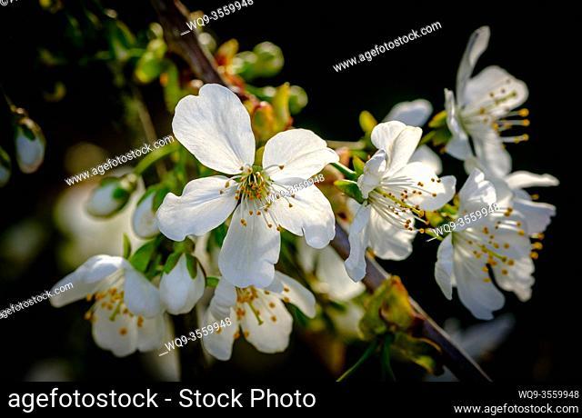 Cherry Blossom in Spring in Scotland