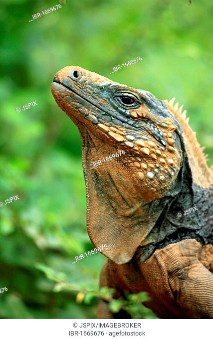 Blue Iguana or Grand Cayman Iguana (Cyclura lewisi), portrait