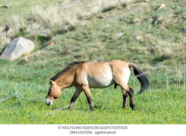 Grazing Przewalski horse (Equus przewalskii) or Takhi, the only still living wild ancestor of the domestic horses, at Hustai National Park, Mongolia