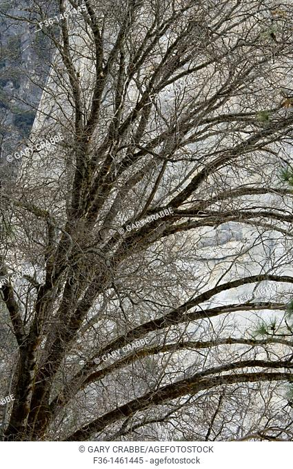 Trees in early Spring, Yosemite Valley, Yosemite National Park, California