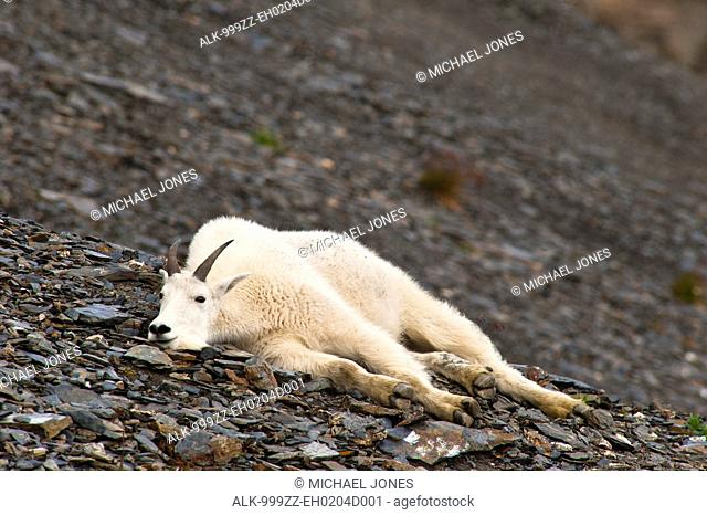A young Mountain goat billy is resting on a hillside near the Harding Ice field Trail at Exit Glacier in Kenai Fjords National Park in Southcentral Alaska