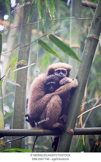 South east Asia, India, Tripura state, Gumti wildlife sanctuary, Western hoolock gibbon (Hoolock hoolock), adult female with baby