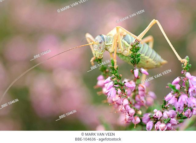 The Saddle-backed Bushcricket is a central European species, that just reaches the Netherlands where it occurs on the Veluwe and around Nijmegen It is on the...