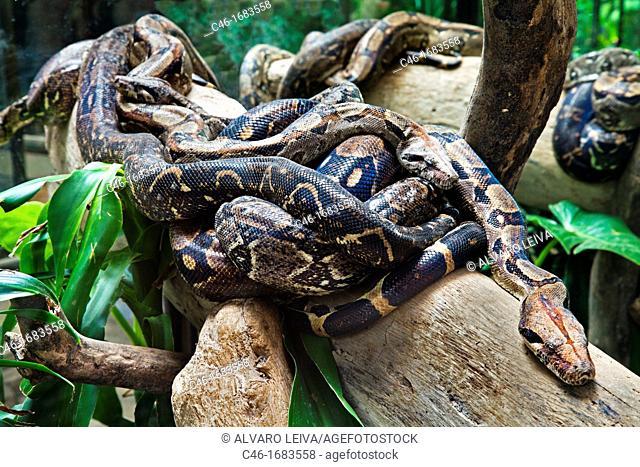 Boa constrictor snake, Monteverde, Santa Elena, Costa Rica