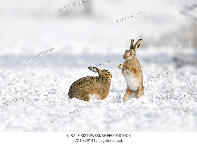 Brown Hare / European Hares / Feldhasen ( Lepus europaeus ) in winter, two hares playing, fighting in snow, wildlife, Europe