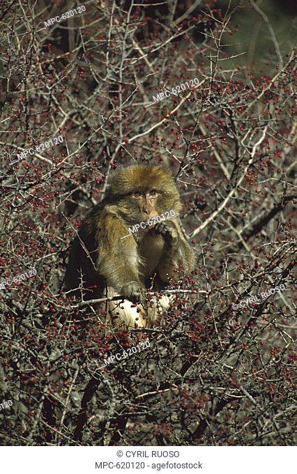 Barbary Macaque Macaca sylvanus, adult eating berries in a tree in winter, Middle Atlas Mountains, Morocco
