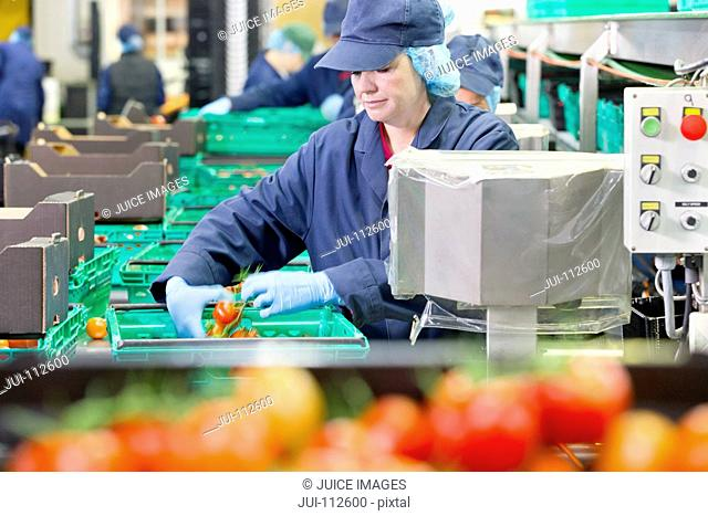 Quality control worker checking tomatoes at production line in food processing plant