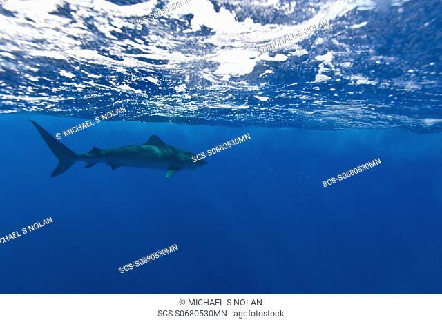 Adult tiger shark Galeocerdo cuvier in the AuAu Channel, Hawaii, USA Pacific Ocean MORE INFO The tiger shark is a species of requiem shark and the only member...