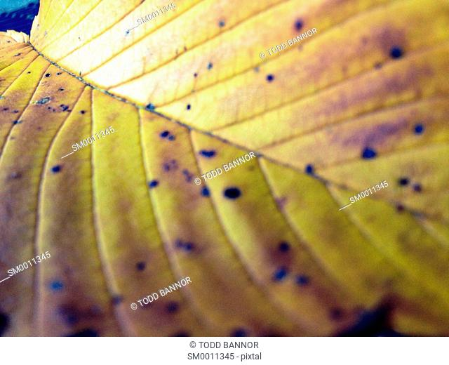 Fallen American elm leaf in autumn