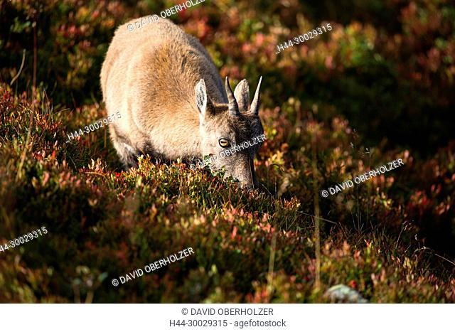 The Alps, the Bernese Oberland, autumn, Niederhorn, Switzerland, Capricorn, mammals, animals, wilderness, wild animals