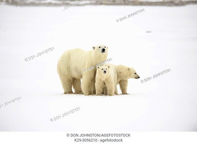 Polar Bear (Ursus maritimus) Yearling cubs and mother near Hudson Bay coast, Wapusk NP, Cape Churchill, Manitoba, Canada