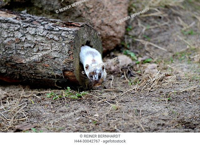Prey search, fallow buck, local predator, endemic animal, agile robber, big weasel, ermine, ermine in the spring, doggy, short tail weasels, martens