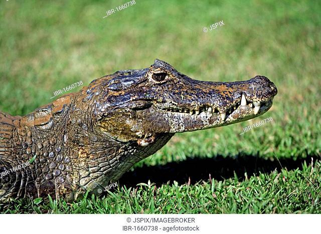 Yacare Caiman (Caiman yacare), portrait, adult on land, Pantanal, Brazil, South America